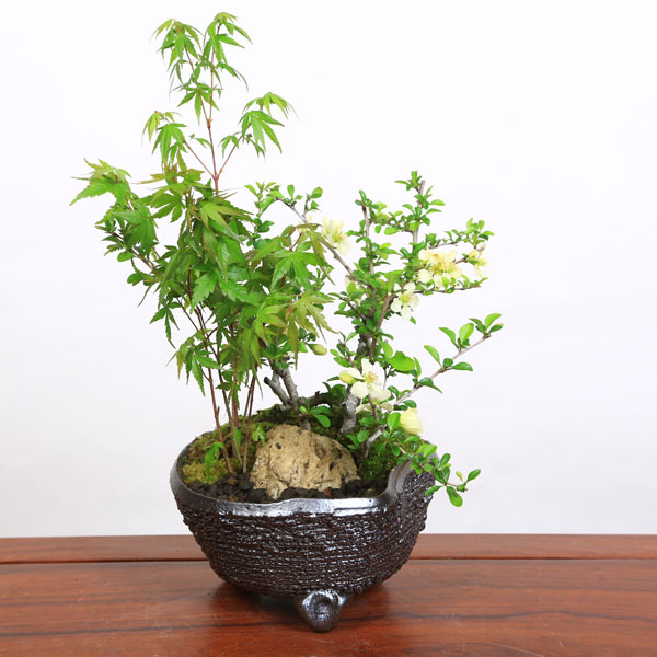 小品盆栽:ミニ黒松盆栽(クロマツ)