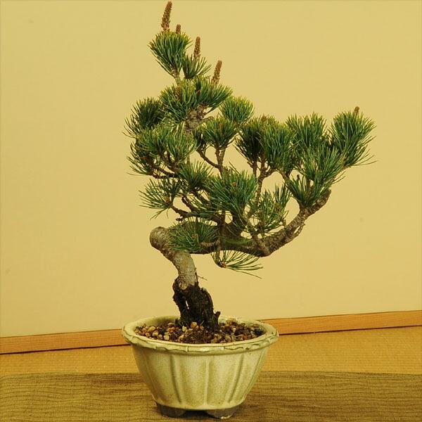 五葉松(国産輪花白鉢)
