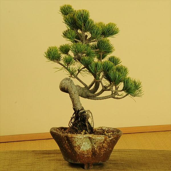 五葉松(瀬戸焼変形鉢)
