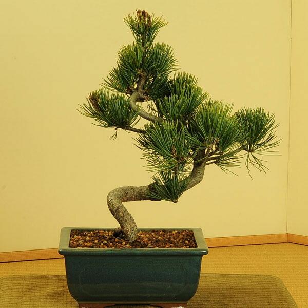 五葉松(緑釉長方縁付鉢)