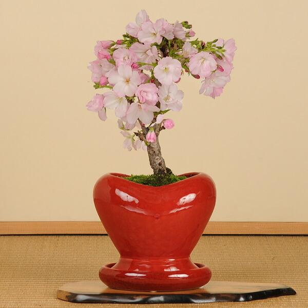 一才桜(ハート型鉢・受け皿付)