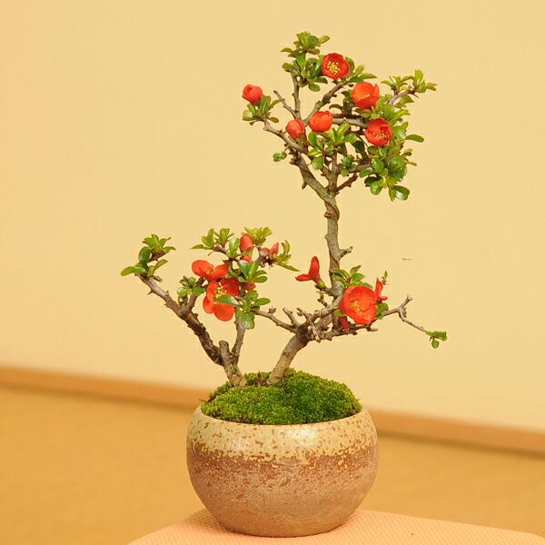 長寿梅(瀬戸焼小鉢)