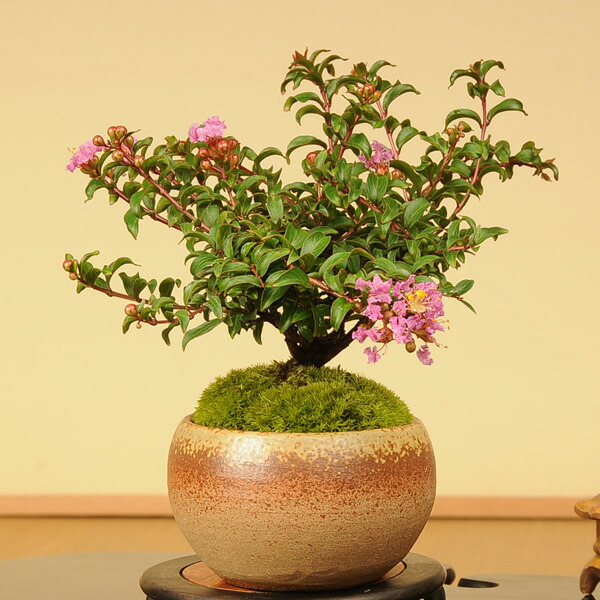 サルスベリ(瀬戸焼小鉢)
