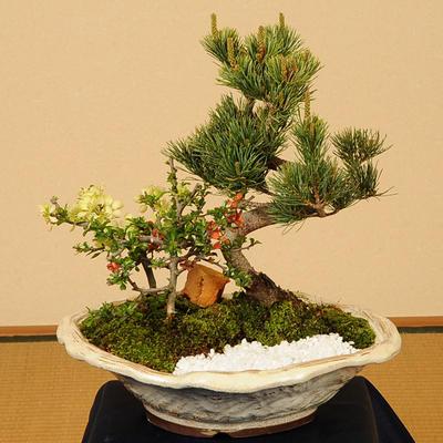 盆栽:五葉松・紅白長寿梅寄せD