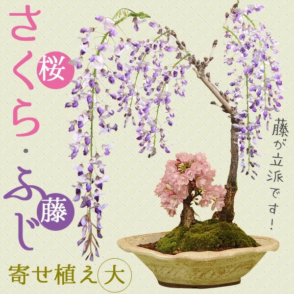 人気花物盆栽:桜・藤寄せ(大・瀬戸焼鉢)