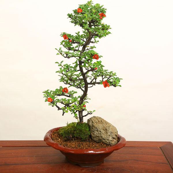 長寿梅(大・瀬戸焼小鉢)