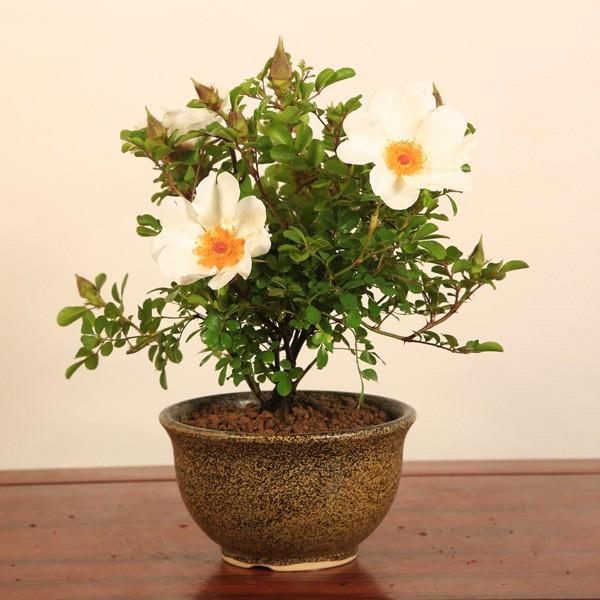 八重山ノイバラ(瀬戸焼鉢)