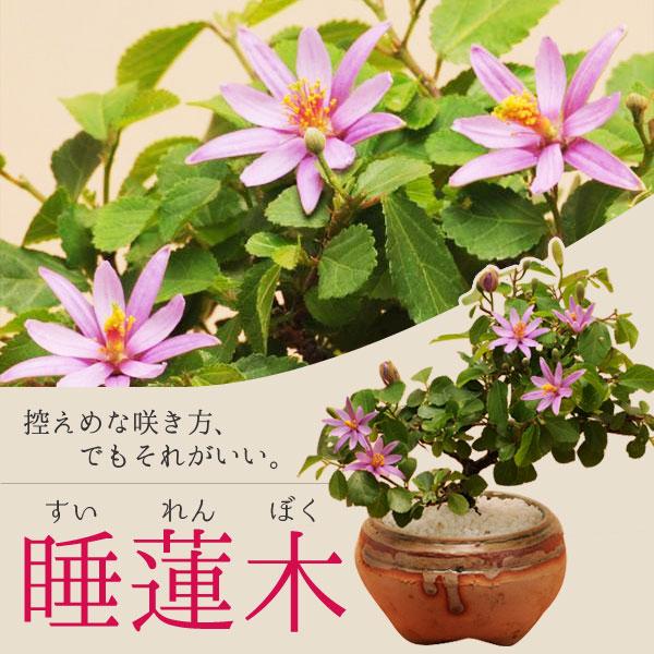 睡蓮木(信楽焼小鉢)