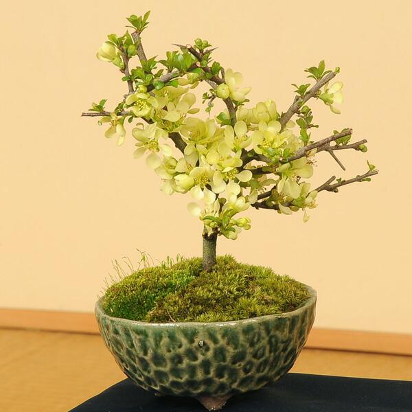 白花長寿梅(瀬戸焼織部釉鉢)
