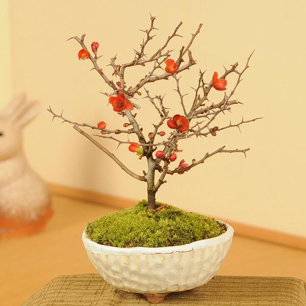 長寿梅(瀬戸焼白釉鉢)