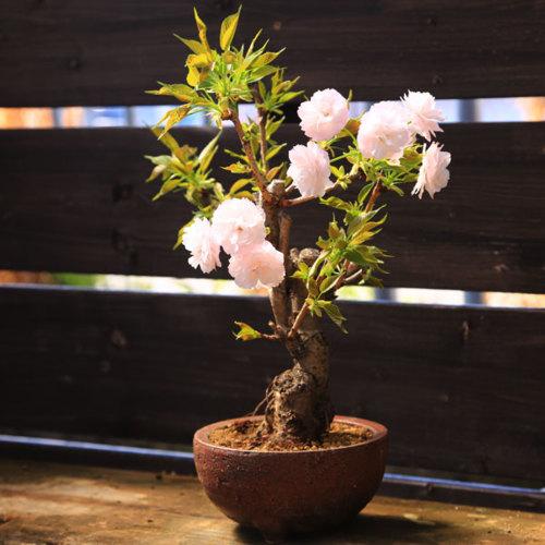 桜盆栽:きのと桜