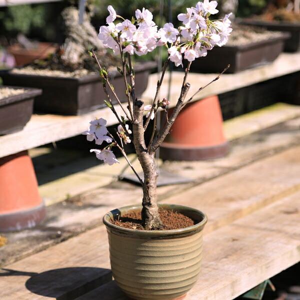 桜盆栽:吉野桜(瀬戸焼鉢)