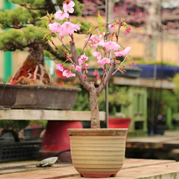 桜盆栽:陽光桜