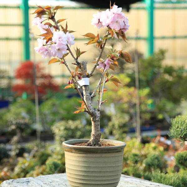 桜盆栽:関山桜(かんざんざくら)