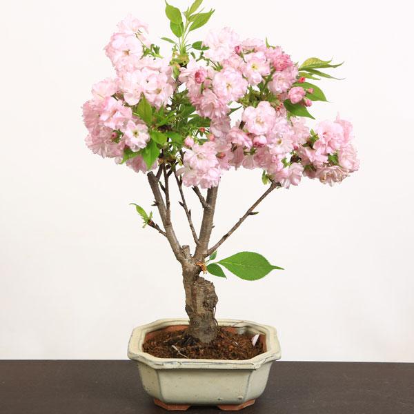 桜盆栽:ようきひ桜(角切長方陶器鉢)