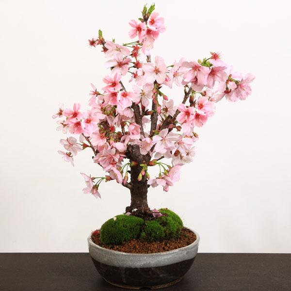 桜盆栽:陽光桜(信楽焼鉢)