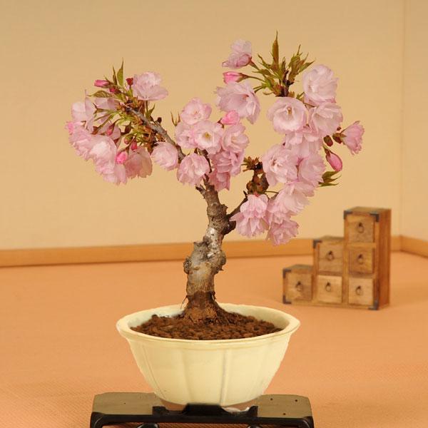 一才桜(瀬戸焼白輪花鉢)
