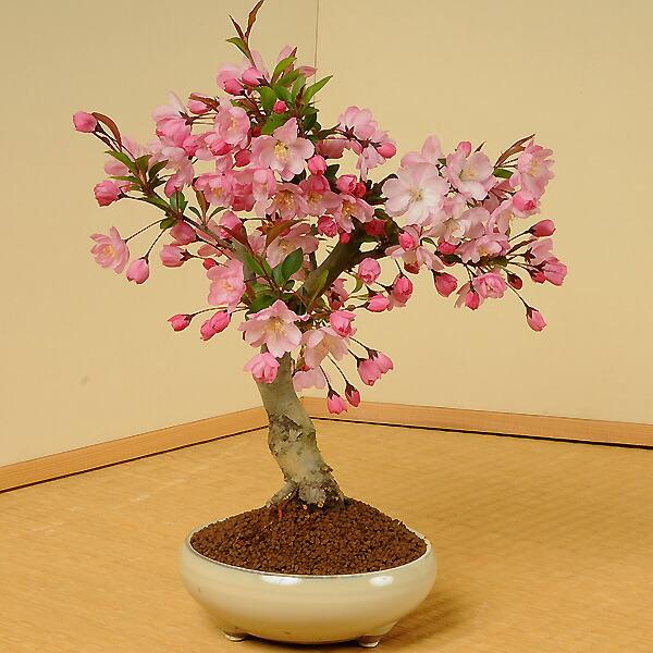 垂糸(すいし)かいどう桜