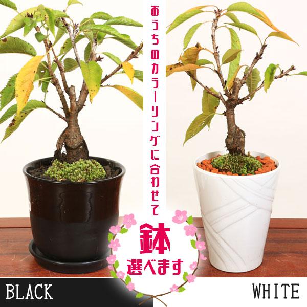 桜盆栽:鉢が選べる一才桜大(旭山桜)*