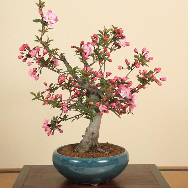 特選極太すいしかいどう桜(緑丸鉢)