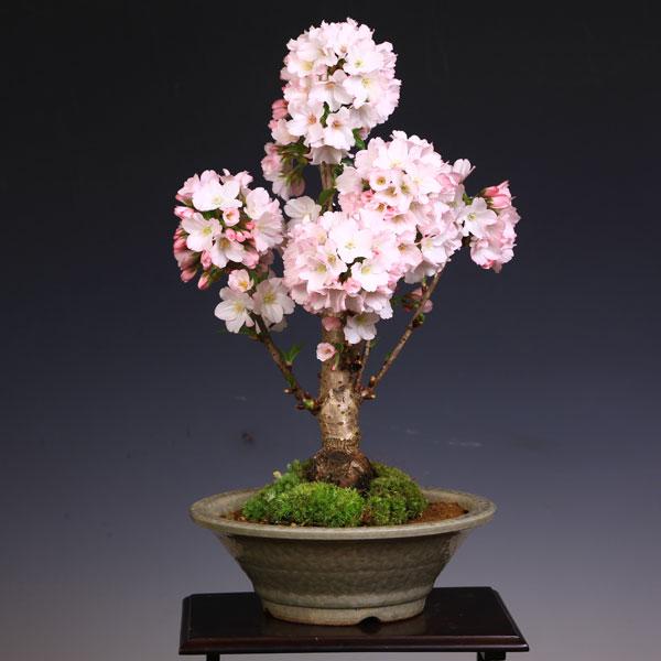 御殿場桜(萬古焼白鉢)