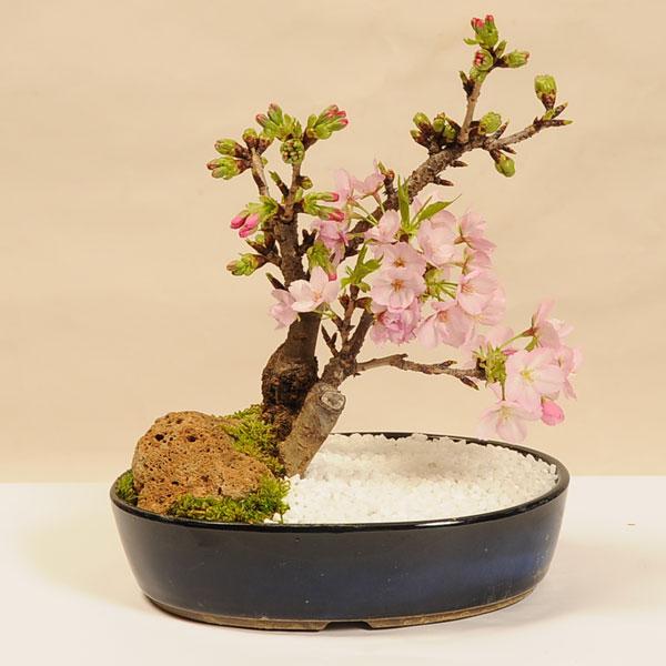桜盆栽:旭山桜2本仕立て景色盆栽