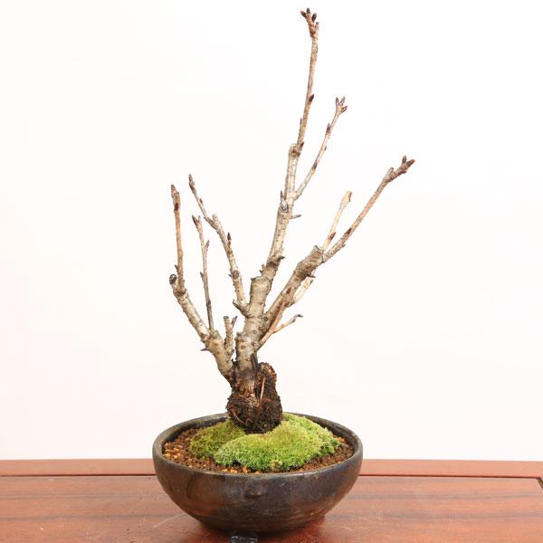 桜盆栽:特選鬱金桜(信楽焼金彩足付丸鉢)