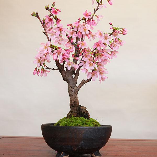 桜盆栽:雅桜(信楽焼金彩足付丸鉢)