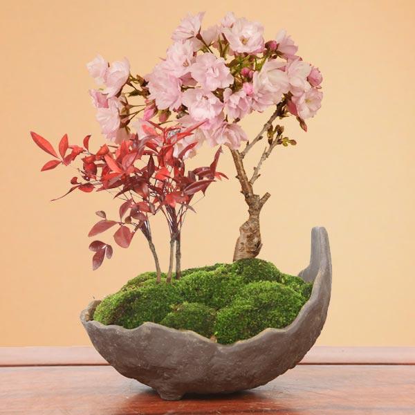 桜盆栽:桜・南天寄せ植え
