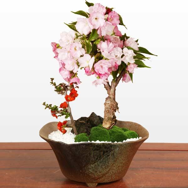 桜盆栽:桜・長寿梅寄せ(瀬戸焼変形鉢)