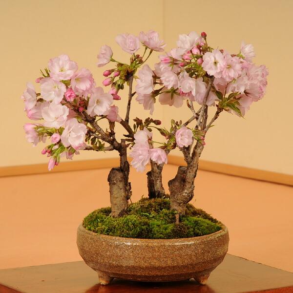 盆栽:旭山桜3本仕立て(信楽焼鉢)