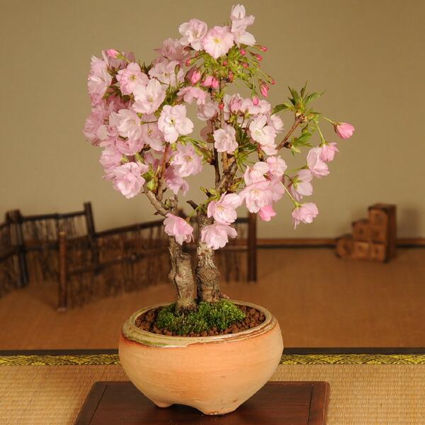 旭山桜2本仕立て(信楽焼鉢)