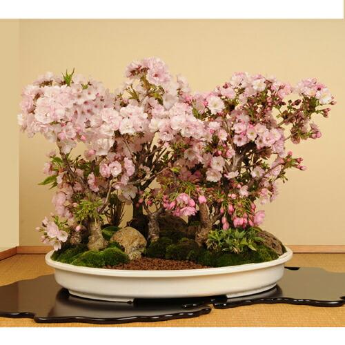 豪華桜寄せ盆栽:桜の杜