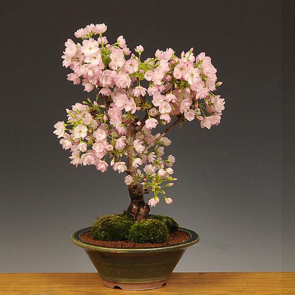 盆栽:一才桜(大・瀬戸焼鉢)