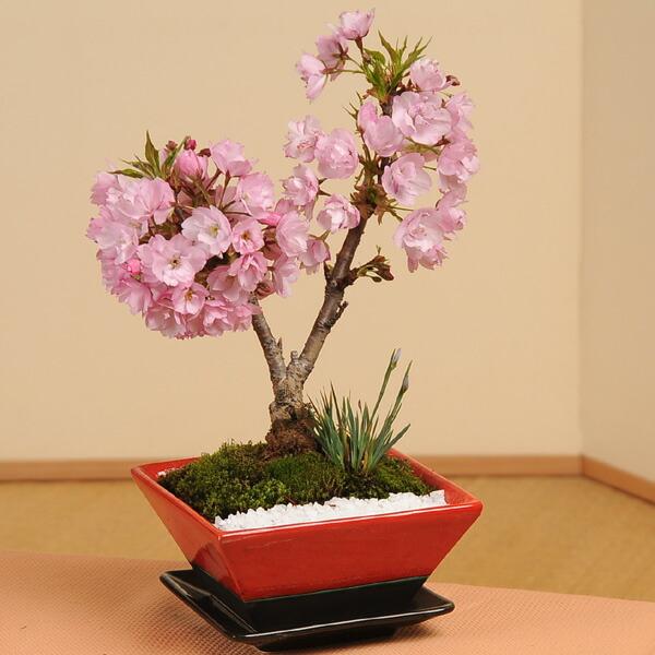 モダン盆栽:桜・山草寄せ