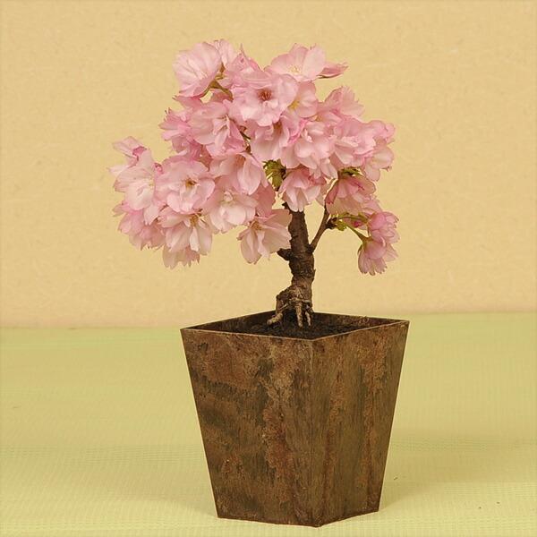 エコ盆栽:一才桜