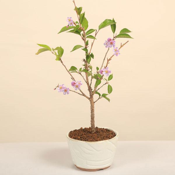 桜盆栽:十月桜(瀬戸焼鉢)