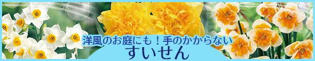 変わり咲水仙